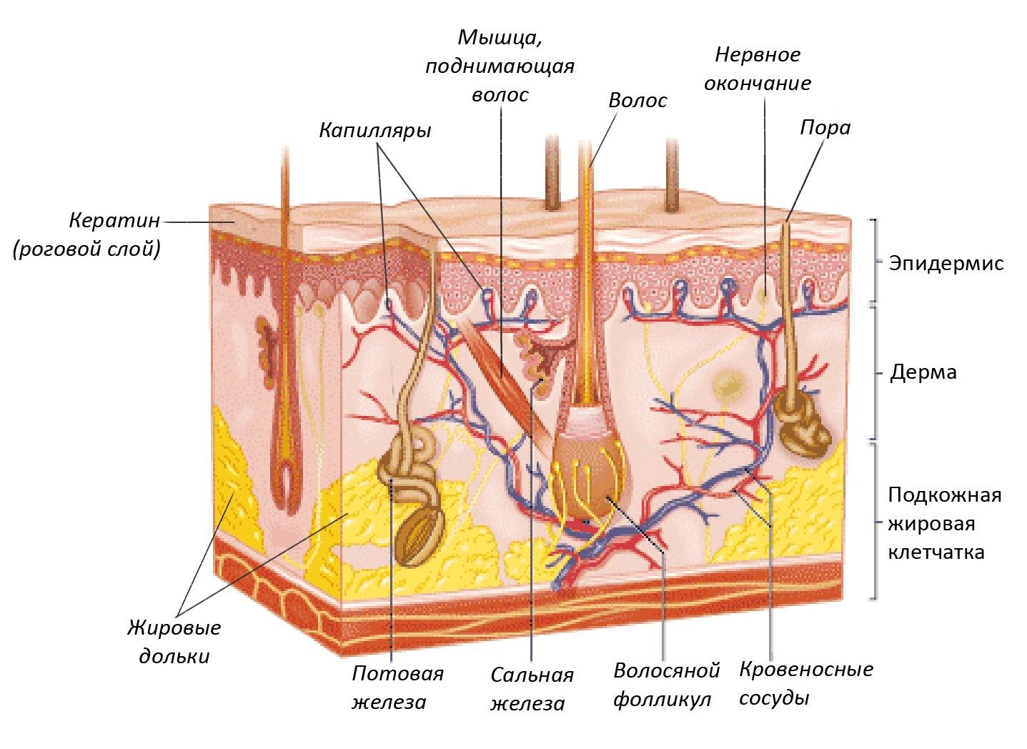 Структура кожи человека схема