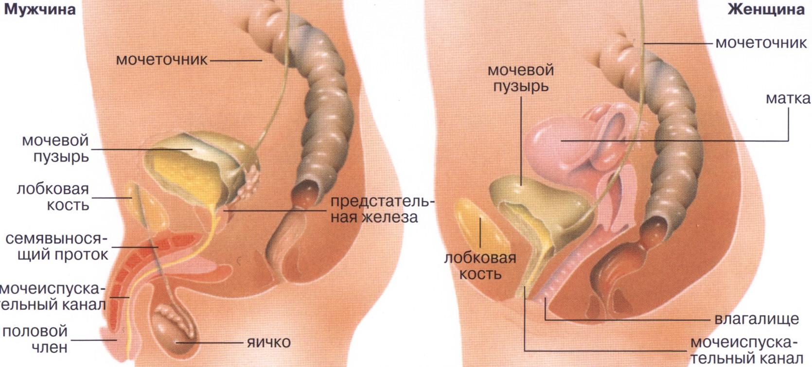 анатомия мужчины и женщины