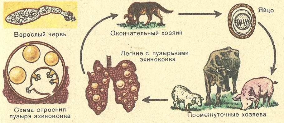 Эхинококк очень распространен в южной Европе, в арабских странах, в южных республиках бывшего СССР, в Корее, в Австралии и в Южной Америке. Этот паразит часто поселяется в легких.