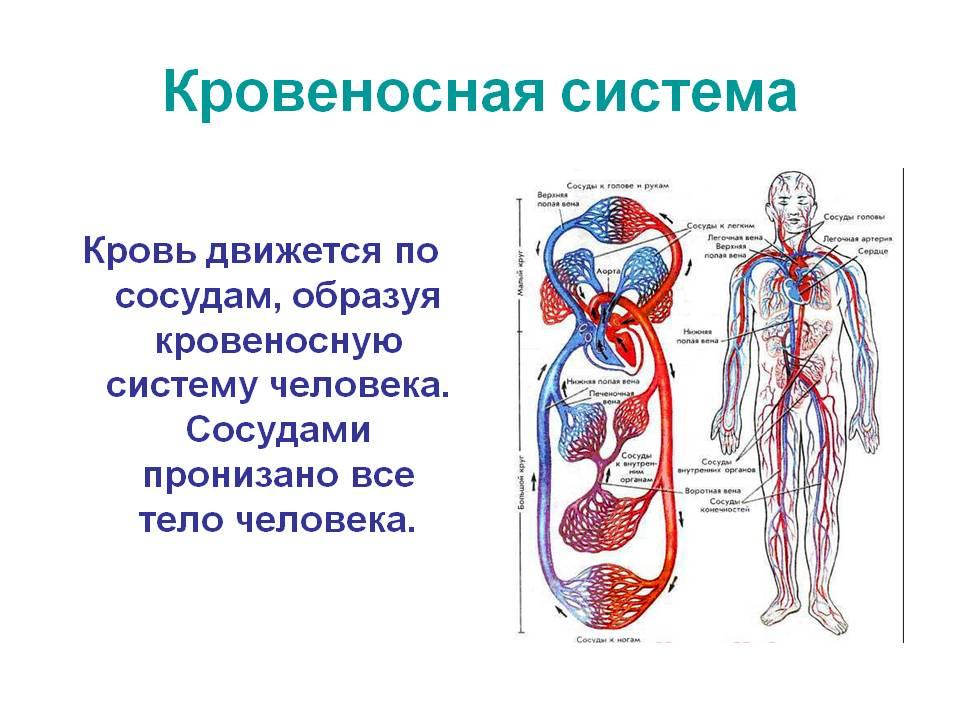 Кровеносная система представляет собой транспортную систему организма, от работы которой зависит здоровье человека в целом.