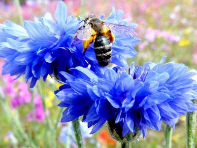 Василек синий. Примочки из настоя цветков (2 чайные ложки цветков на 200 мл кипятка) применяют как противовоспалительное и дезинфицирующее средство при воспалении слизистой оболочки глаз.